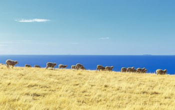 herd,islands,ocean,Sheep