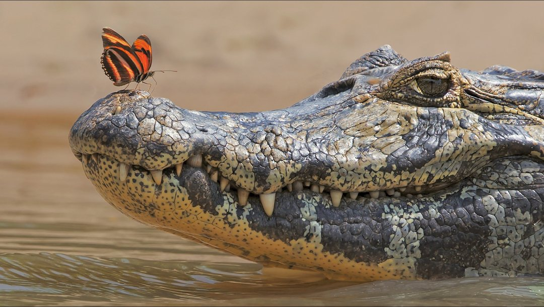 two,animals,other,Butterfly,Crocodile