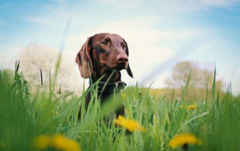 dachshund,flowers,grass,дог