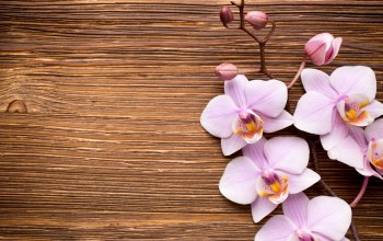 wood,pink,flowers,орхидея,Orchid