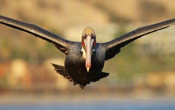 pelican,flight,eyes