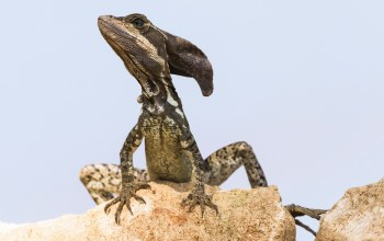 Vasilisk,природа,Basiliscus basiliscus,Ящерица,Jezus Christ Lizard