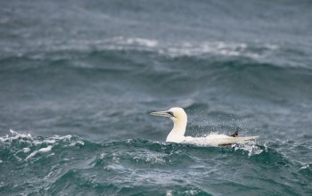 #Sea,waves,wildlife,gannet,#Bird