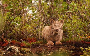 Lynx,wildlife,cat