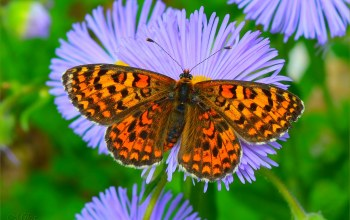 бабочкa,астры,мacro,Asters,макро.,Butterfly