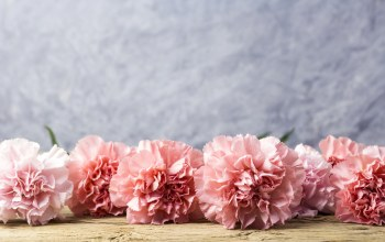 pink,lepestki,wood,гвоздики,beautiful,carnation,flowers,цветы,розовые
