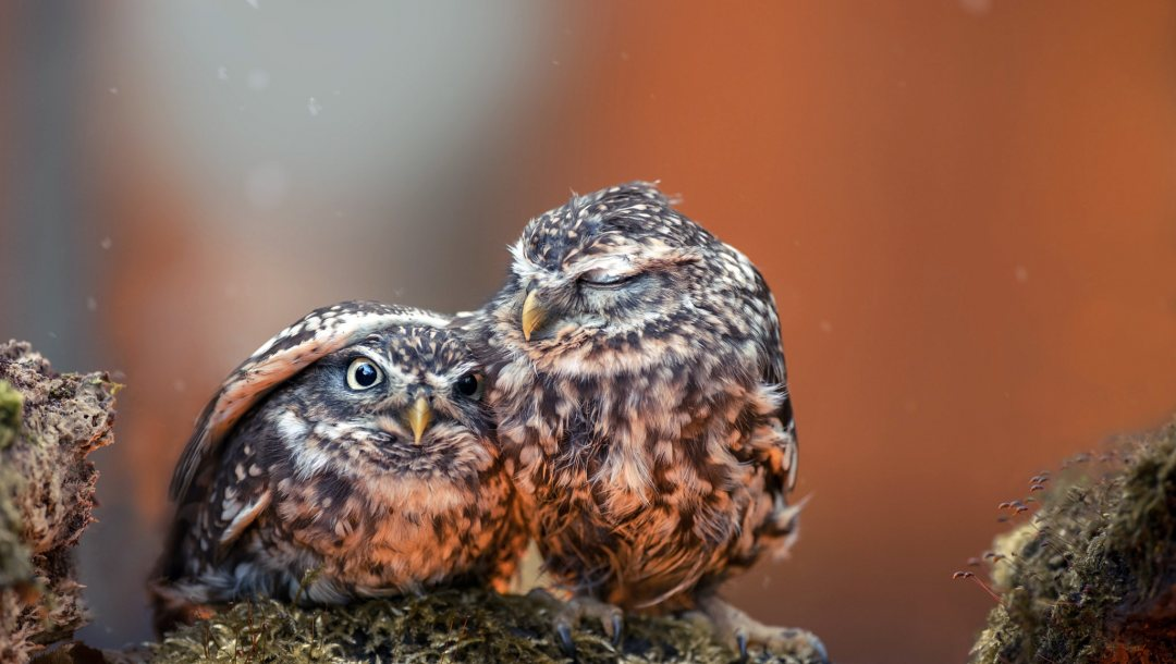 eyes,close up,feathers,photography,animals,Birds,chicks,owls,situation,protection,wings,beak,hug