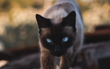 glance,пет,blue eyes,siamese,animals,Cats,cat,look