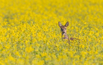 deer,field of gold,wildlife