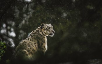 wallpaper,Predator,блур,wildlife,bokeh,rain,леопард,snow leopard,background,animals,big cat,Cats