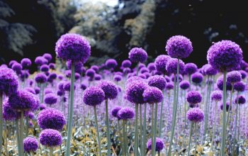 flowers,glade,alliums,wallpaper,Purple,Bloom,натуре