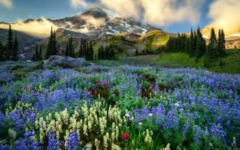 Mount Rainier,wildflowers,mountains,washington