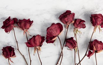 white background,stems,flowers,Red,roses,блур,dried,wallpaper,4k ultra hd background,dry