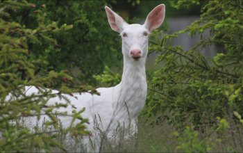 deer,натуре,animals,Albino