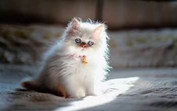 Persian,animals,White kitten