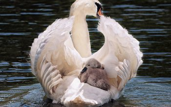 pride,feather,baby swan,elegant,swan,animal world,transport,water bird,cygnet,plumage,schwimmvogel,#Bird,motherly love,white swan,water,Noble,swim,White,swan young,waters,Animal,swan with baby,baby transport, lake