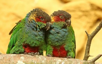 Blue-throated Conure,Pyrrhura cruentata, птицы